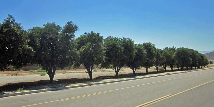 Orange trees on Blackburn Road