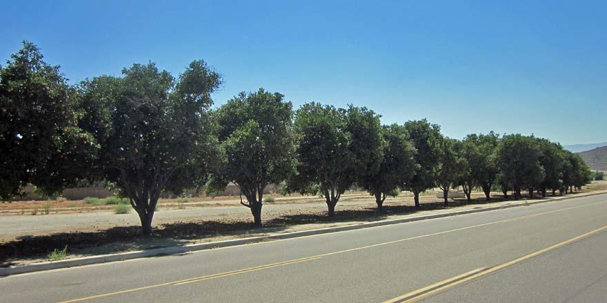 Orange trees on Blackburn Road