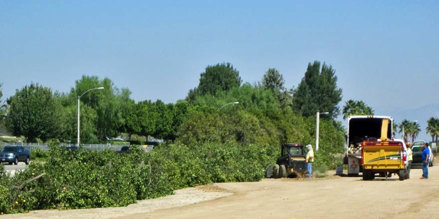 Orange trees being cut down