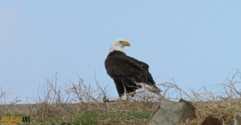 Bald Eagle Sighting at Lake Mathews – Jan 20, 2016