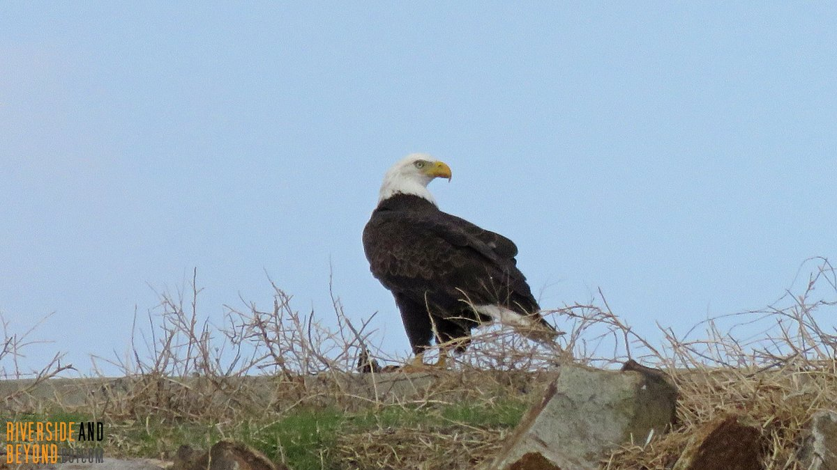 Bald Eagle at Lake Mathews