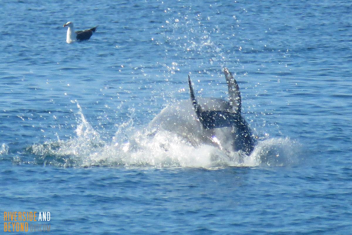 Dolphin at Newport
