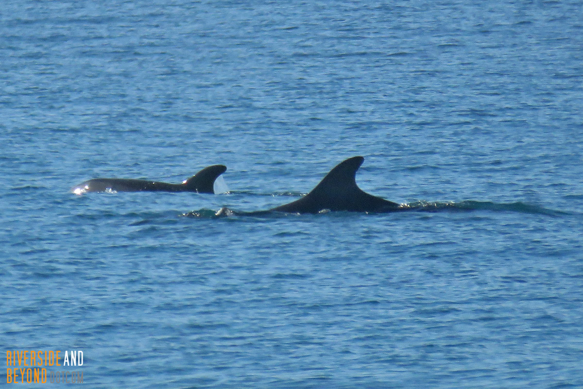 Dolphins at Newport