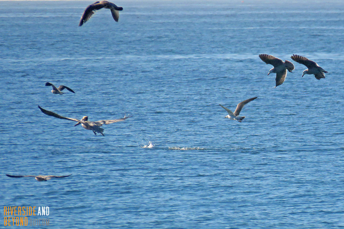 Birds chasing dolphins