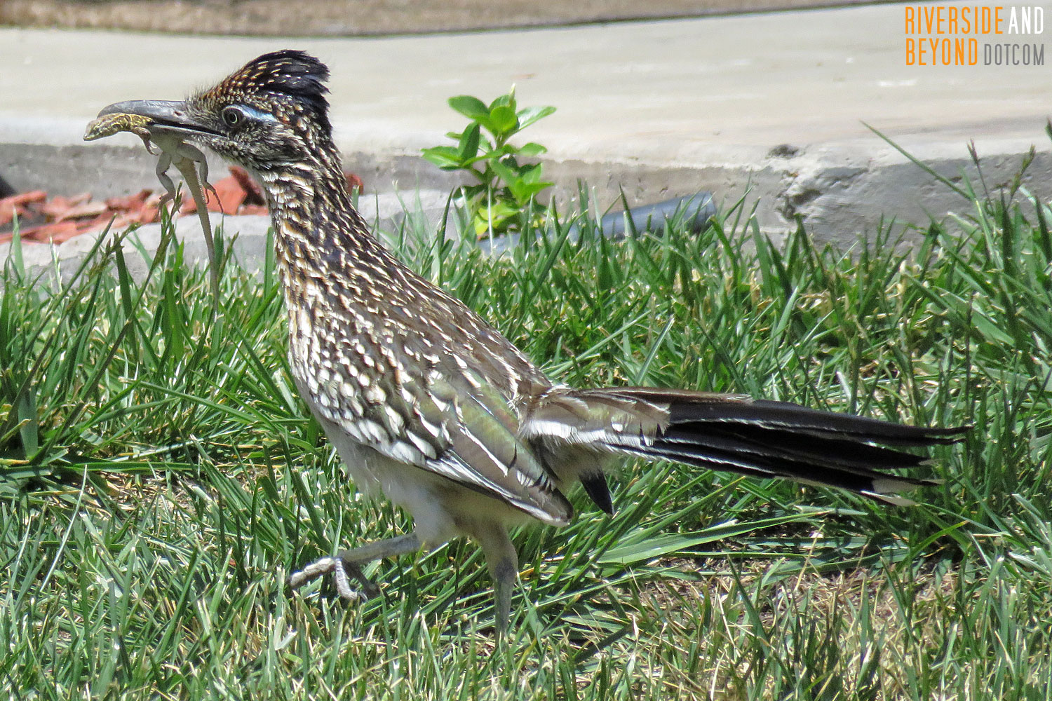 Roadrunner with a Lizard Lunch