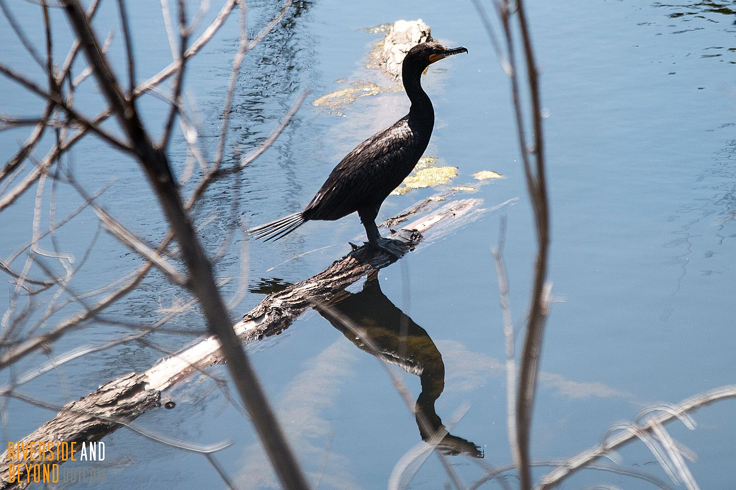Double-crested Cormorant - Riverside