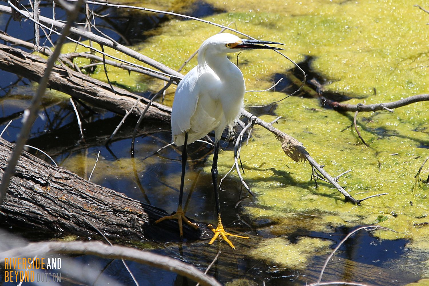 Snowy Egret in Riverside