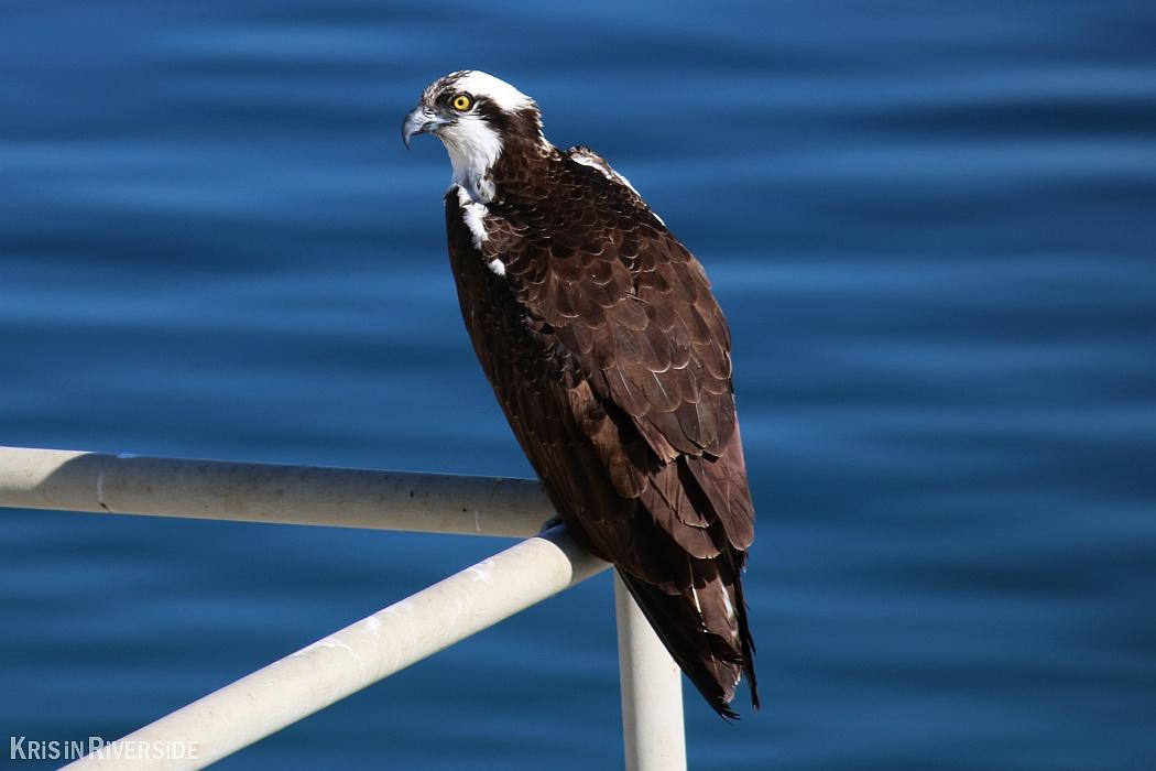 Osprey at Lake Mathews