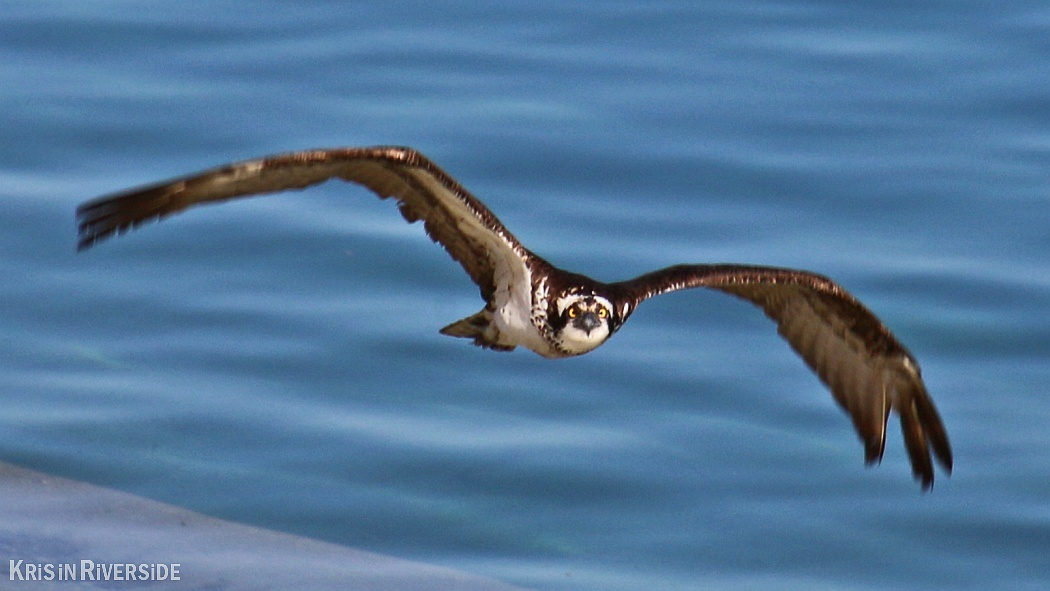 Osprey at Lake Mathews